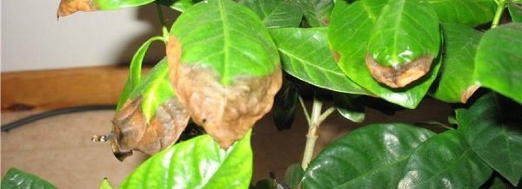 Больные листья азалии