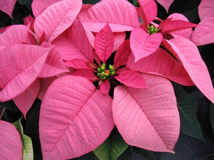 Розовая Peterstar в стадии активного цветения