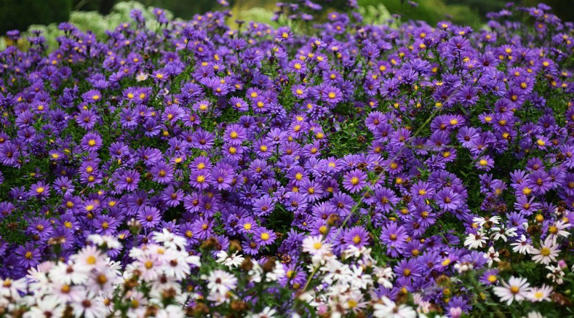 Многолетние цветы требовательны к солнечному свету, под кронами деревьев, в полумраке они желтеют, вытягиваются, утрачивают свою красоту.