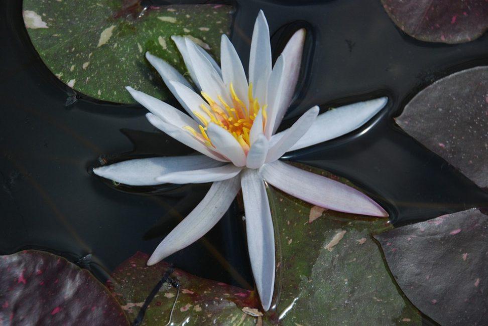 Нимфея. В продаже имеются красивейшие тропические формы этого растения различной окраски, формы цветов