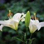 Лилия (55+ Фото) восточной красавицы — описание 9 сортов, правила ухода и выращивания +Отзывы