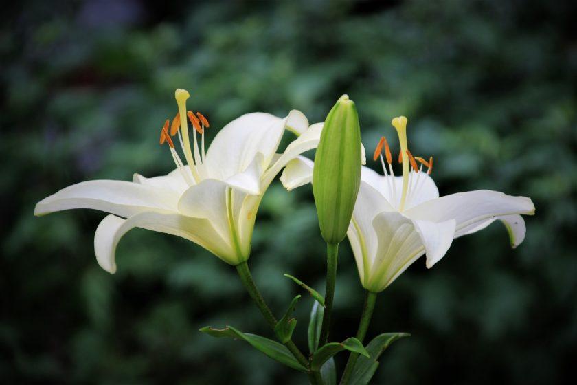 Ранние сорта лилий