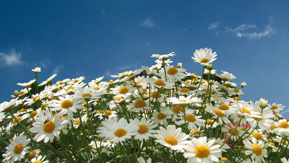 Нивяник цветы