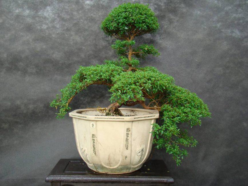 Интересное дерево необычной формы