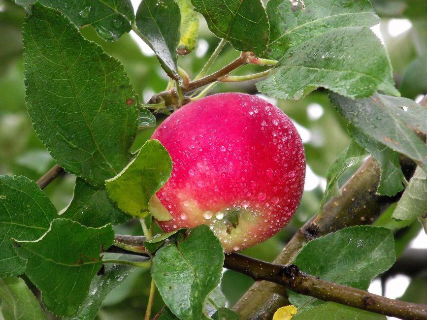 Яблоко покрытое росой