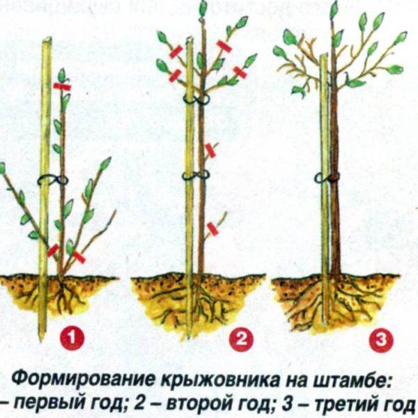 Формирование штамба крыжовника