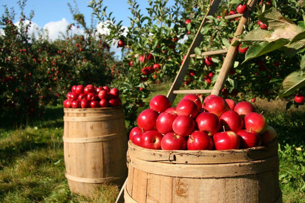 Период сбора урожая отразится в дальнейшем на степени лёжкости плодов зимой.