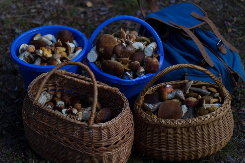 Собранный урожай грибов