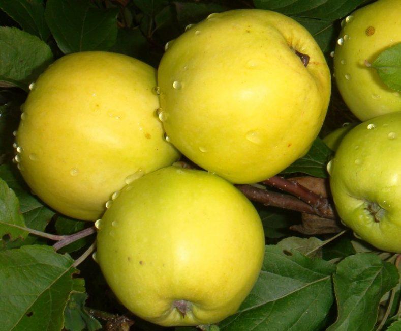 Чудное яблоня