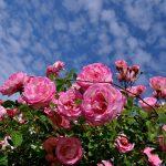 розы в своем саду