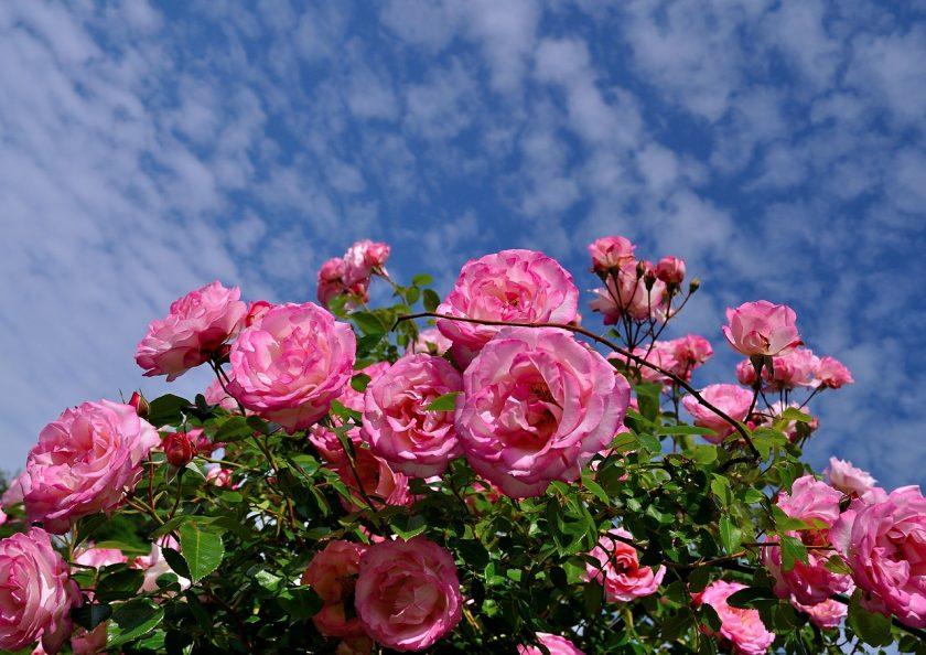 Как вырастить розу из букета – подарка на 8 Марта 2020