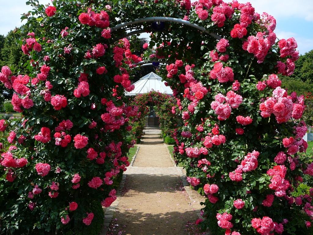 нет, самые простые плетистые розы фото и названия сама предложит