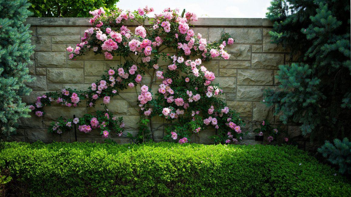 Глухие заборы задекорируйте шпалерами, ампельными цветущими растениями.
