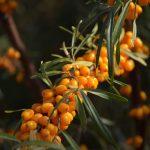 Облепиха: описание, выращивание, полезные свойства и противопоказания, лечение, заготовки на зиму - симфония пользы и вкуса!