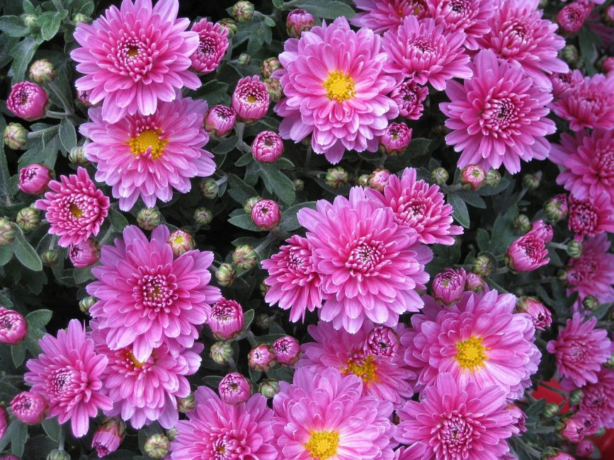 Хризантема цветы
