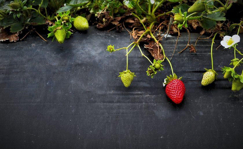 клубника в открытом грунте