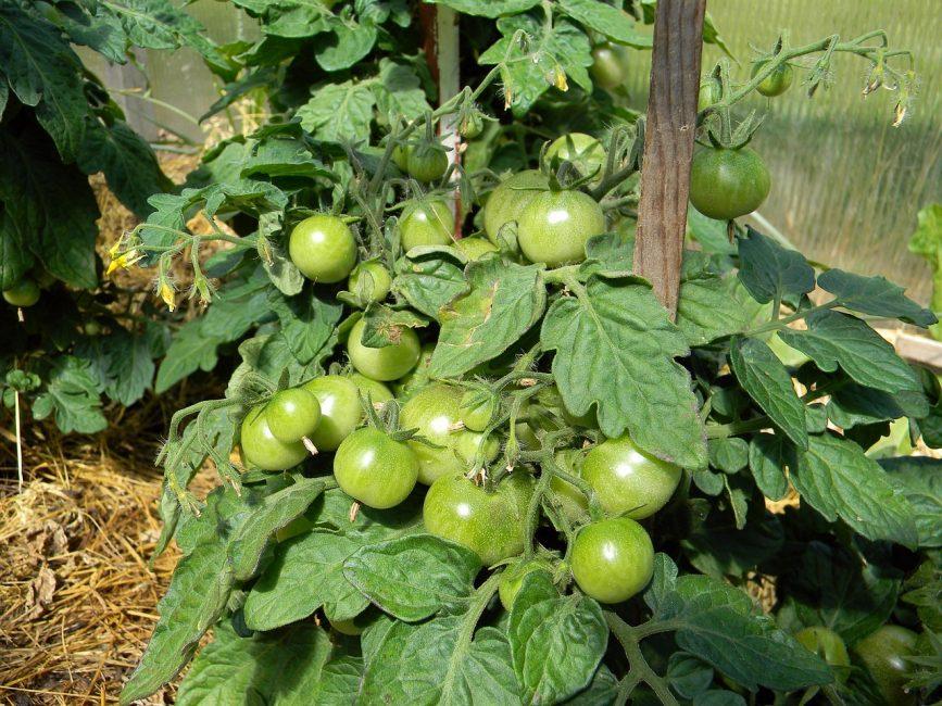 зеленые томаты на кусте