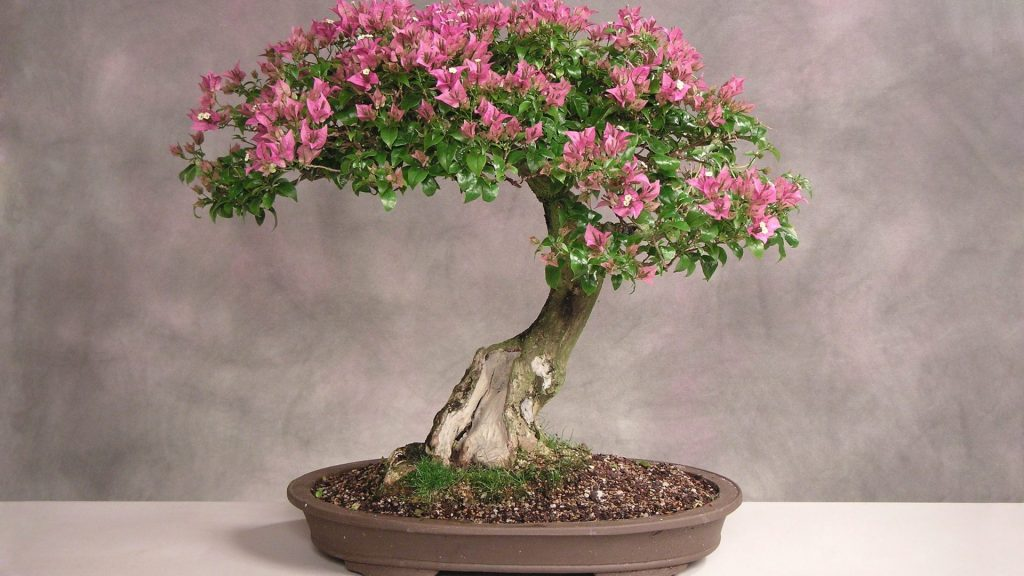 Отличный пример ухоженного мирта в процессе цветения