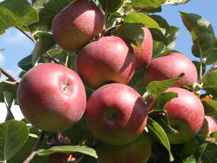Лобо яблоня