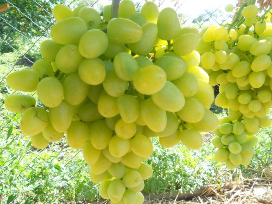 Аркадия виноград сорт