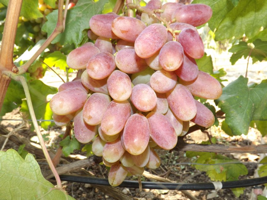 Юлиан сорт винограда