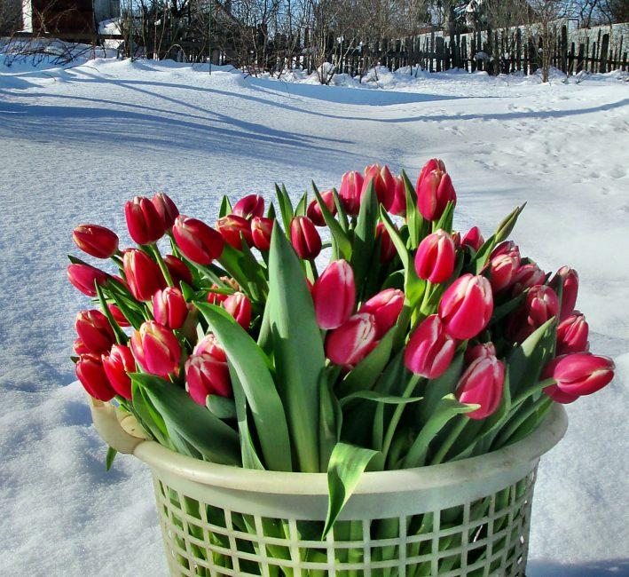 корзина с тюльпанами на снегу