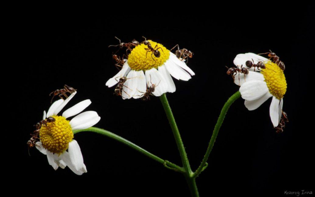муравьи на ромашках