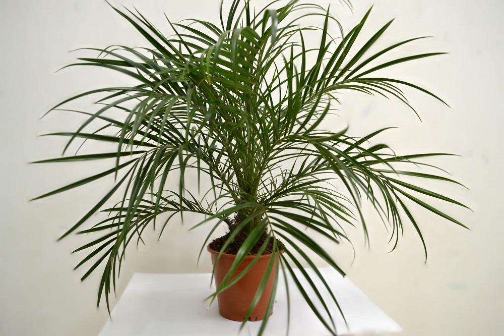 Комнатная пальма : фото и названия видов, как ухаживать 20