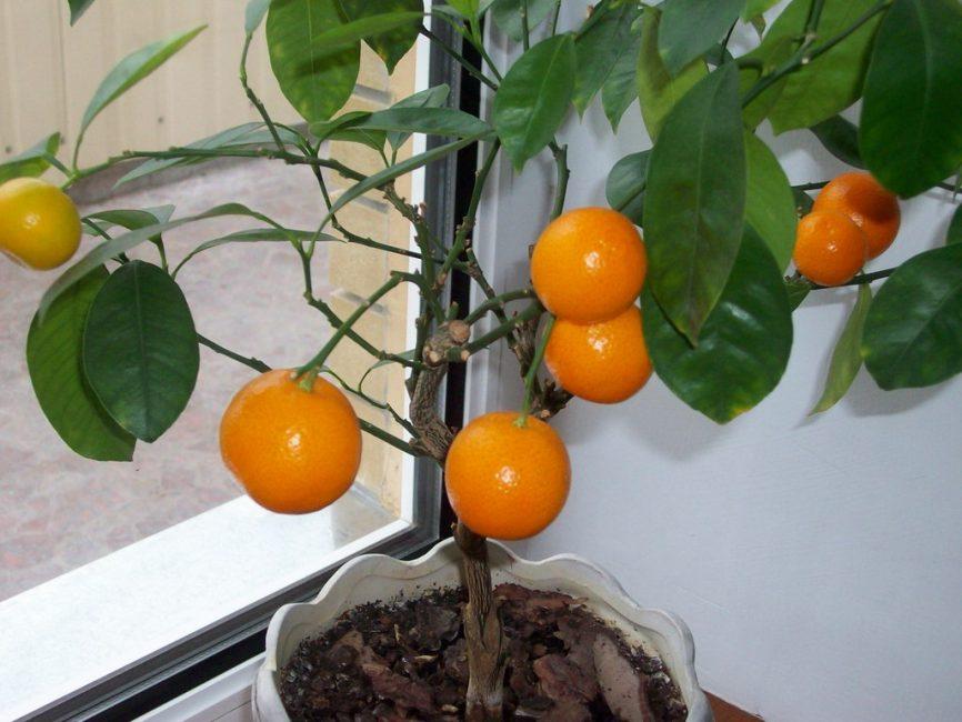 молодое деревце деревце апельсина
