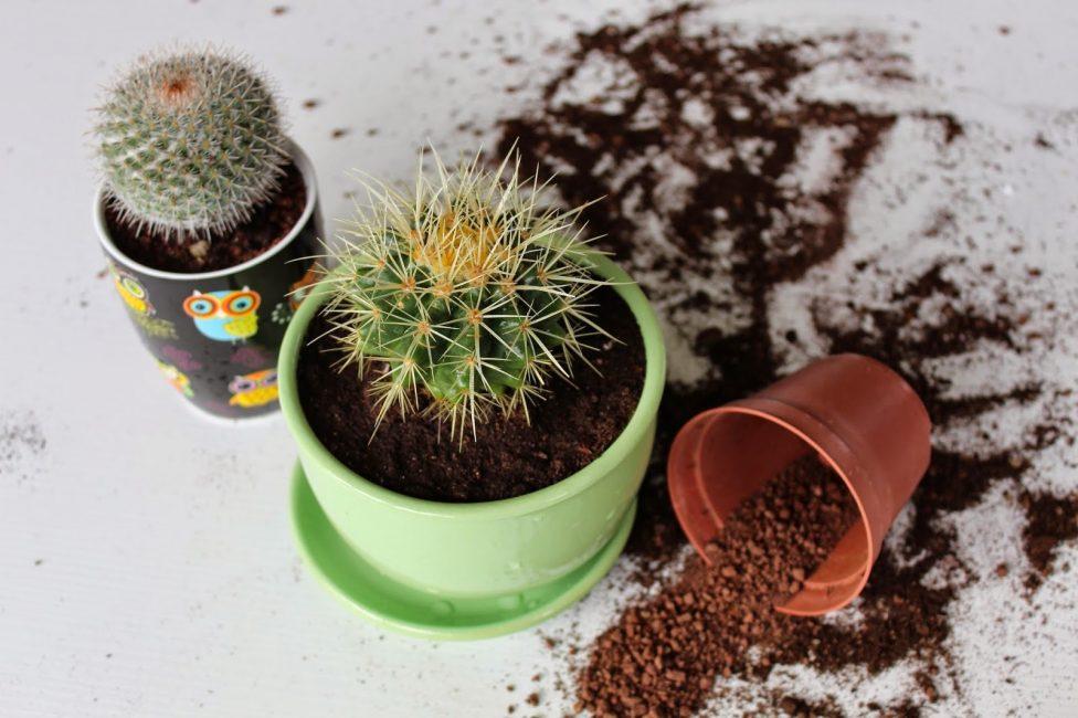 процесс пересадки кактусов