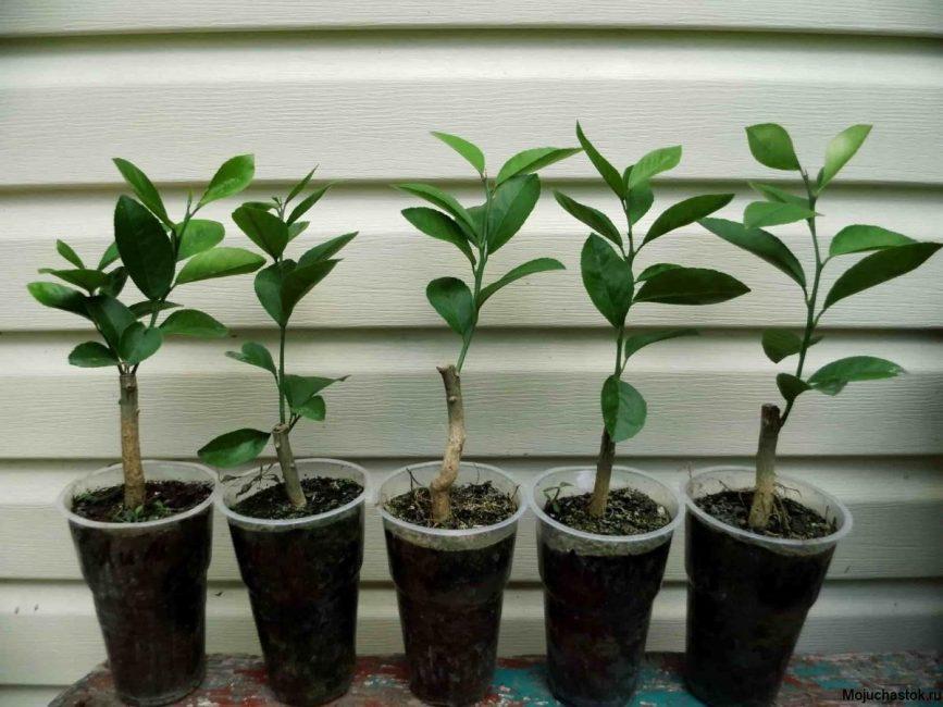 Саженцы лимонного дерева