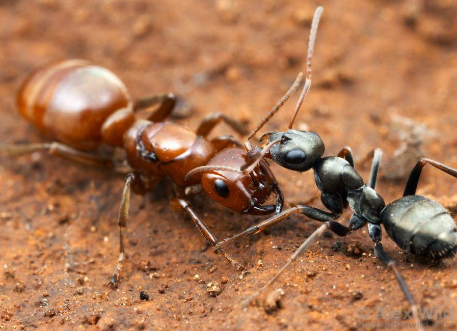 два разных муравья
