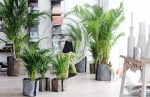 финиковая пальма в домашних условиях финиковая пальма в домашних условиях