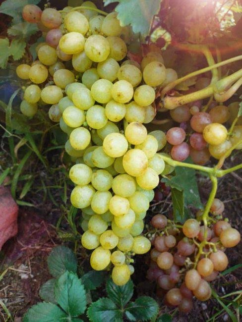Мускат сверхранний сорт винограда