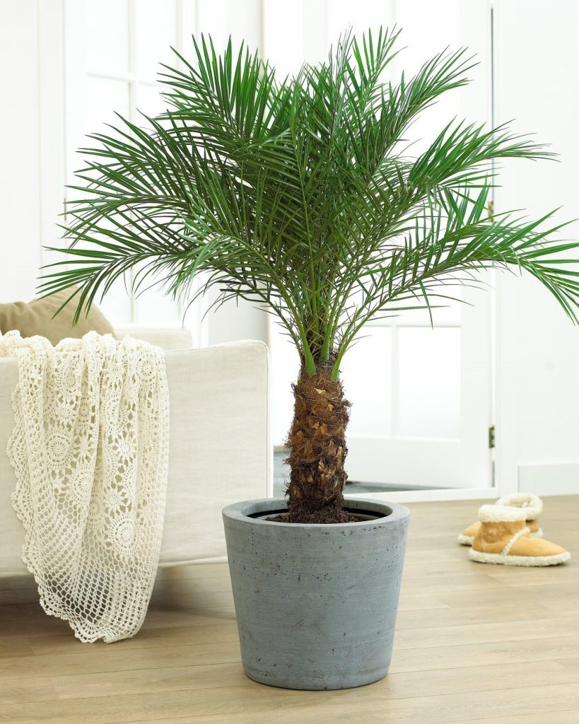 Как пересаживать финиковую пальму