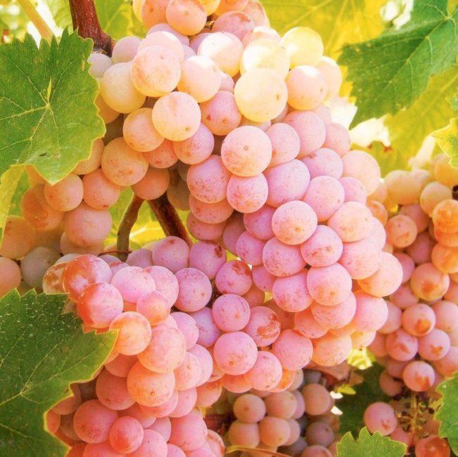 Розовый виноград сорт