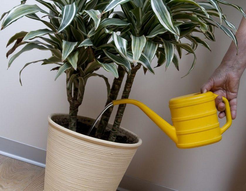 полив пальмы из лейки