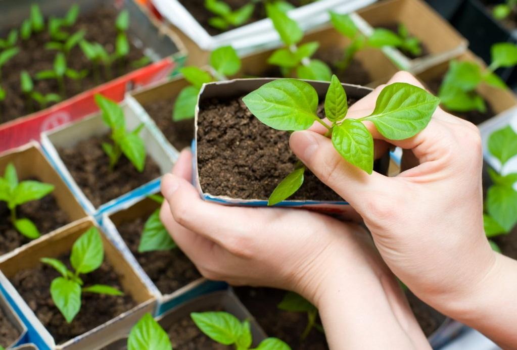 Выращивание Рассады в Домашних Условиях: Основные Приемы