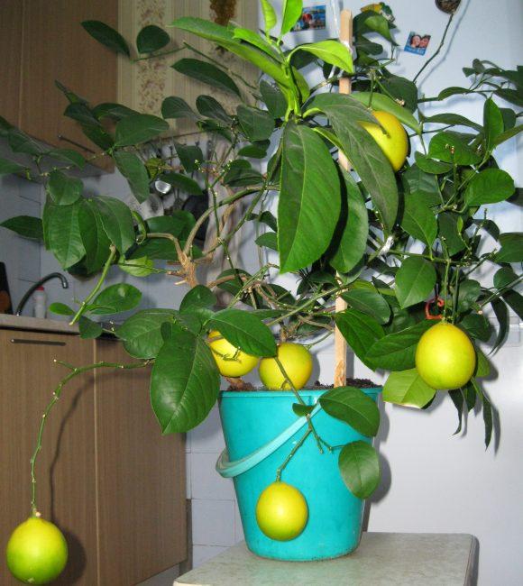 Лимон, выращенный из косточки, привит и уже плодоносит