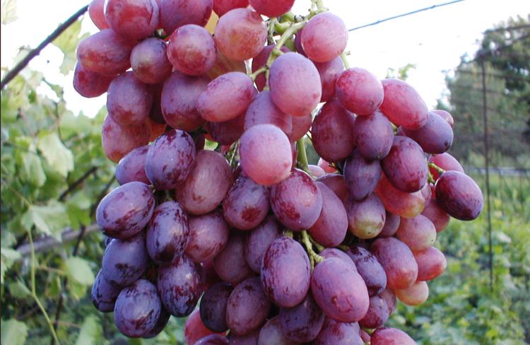 Лучистый сорт винограда