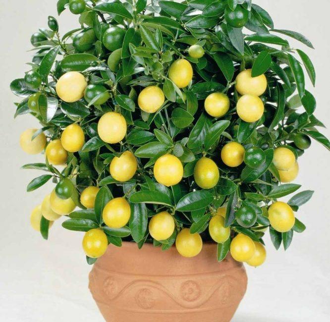 комнатное лимонное дерево