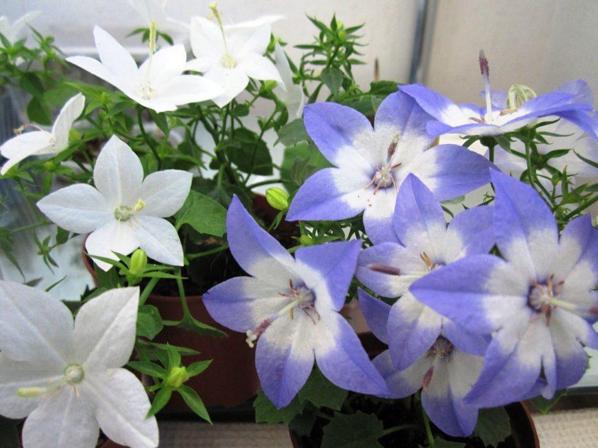 В народе цветку под названием кампанула дали романтичное имя «жених и невеста»