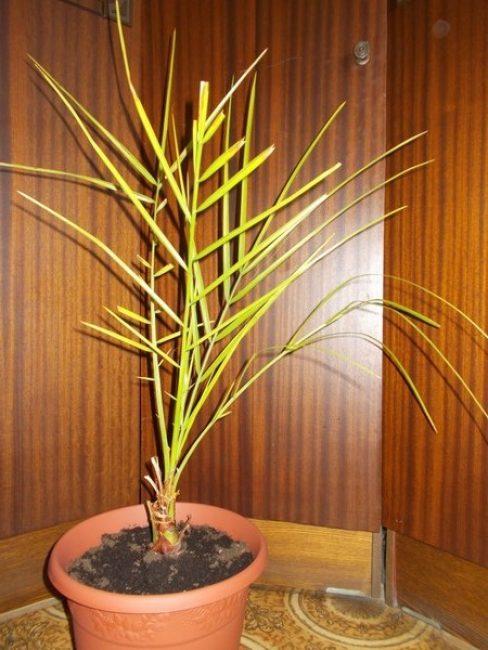 больная финиковая пальма