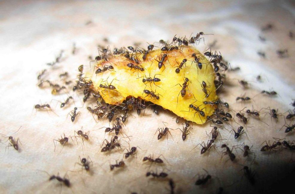 Если в доме появились муравьи, значит здесь есть, чем полакомиться.