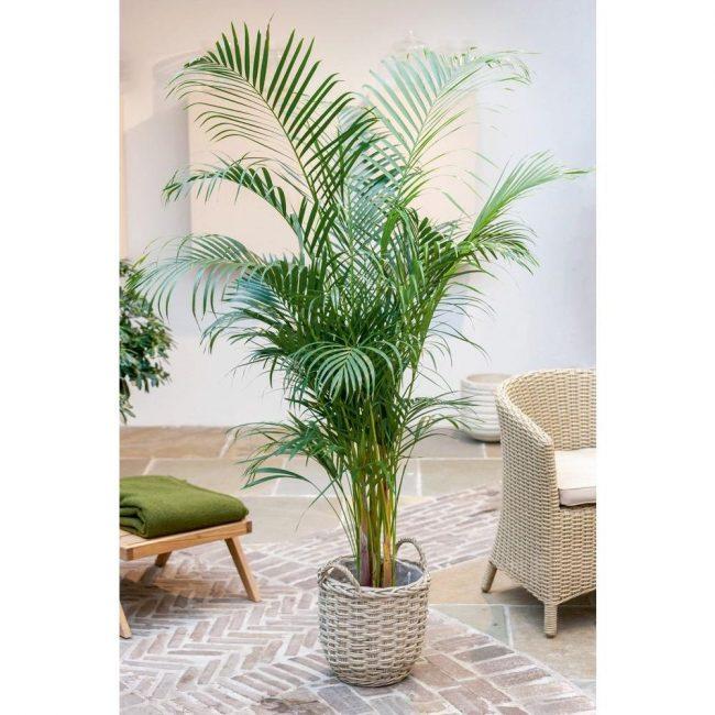 финиковая пальма при свете