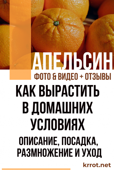 Апельсин в домашних условиях,