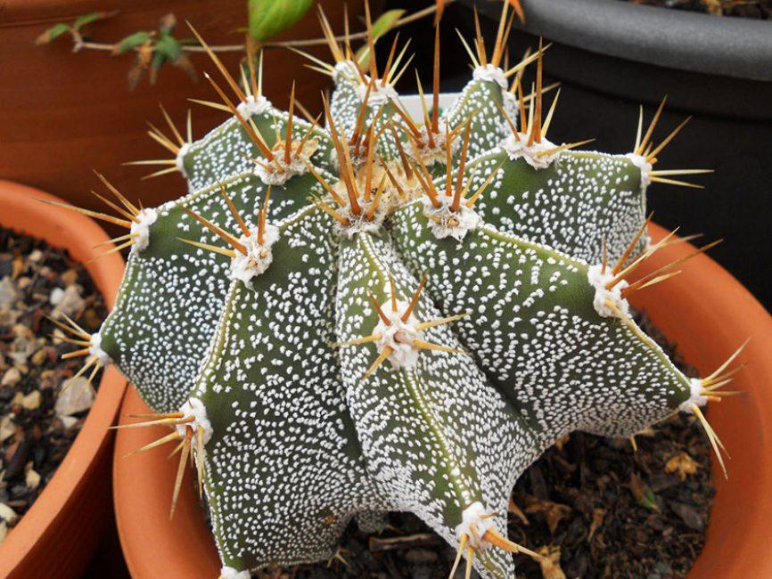 Астрофитумы кактус