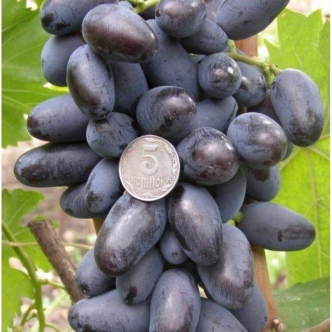 Байконур сорт винограда