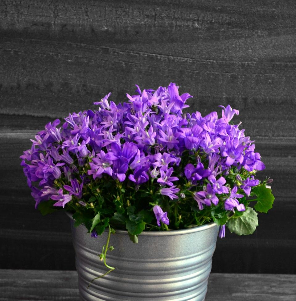 Цветок кампанула уход в домашних условиях 54