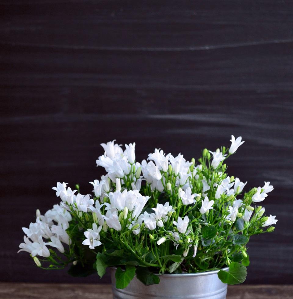 Цветок кампанула уход в домашних условиях 3
